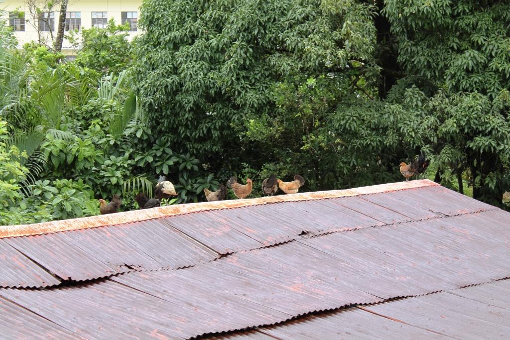 2階建ての建物の屋根に登るニワトリ